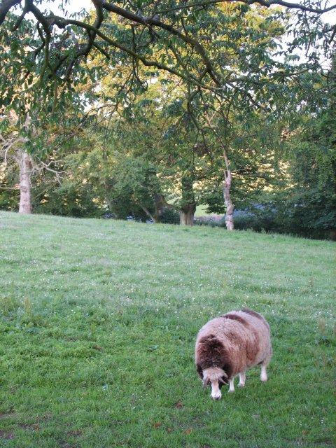 Sheep near Candy Mill