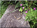 SN0339 : Lizards and red campion, Aber Rhigian by ceridwen
