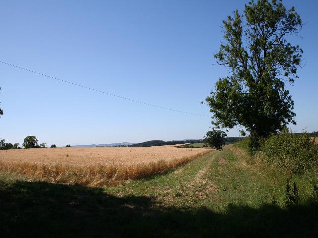 Field of Oats near Docklow