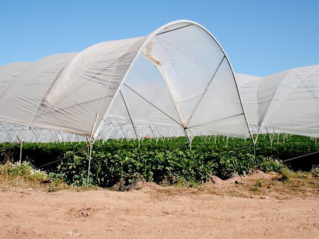 Strawberries under Polytunnels