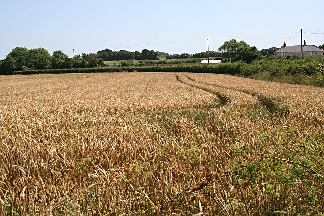 Wheatfield by the Road