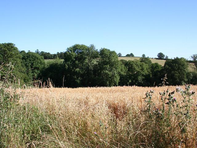 Oats near Maidenhyde Farm