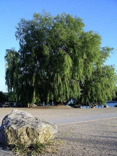 Rock and willow