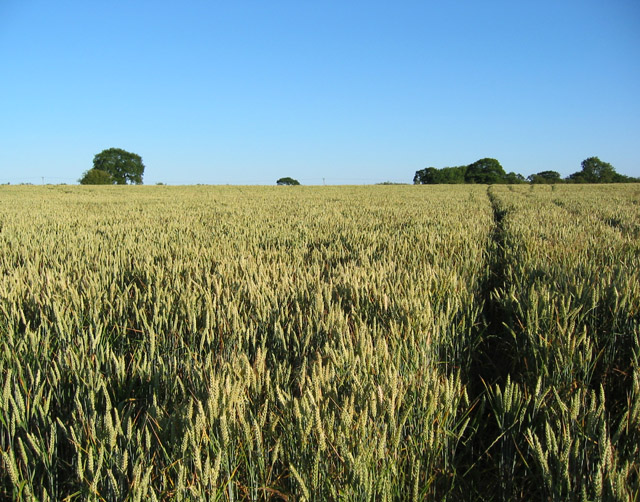 Ripening wheat, near Brook House