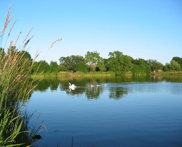 Swan and cygnets on Baddiley Reservoir