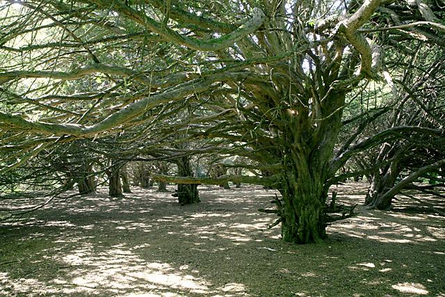 Great Yews wood, nr Homington