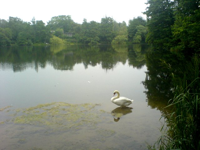 Swan in Sevenoaks Wildlife Centre