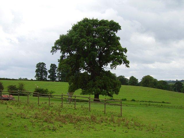 Oak, Hopton Court