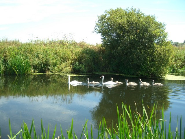 Swans Cygnets On The River Stour Near 169 Mike Pimley