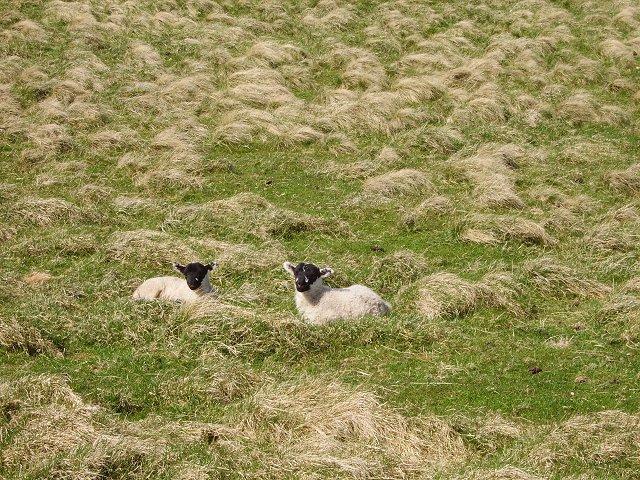 Blackface Lambs