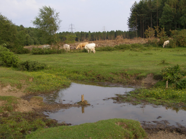 Grazing cattle by a stream, Dibden Purlieu, New Forest