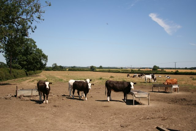 Cattle near Willingham-by-Stow