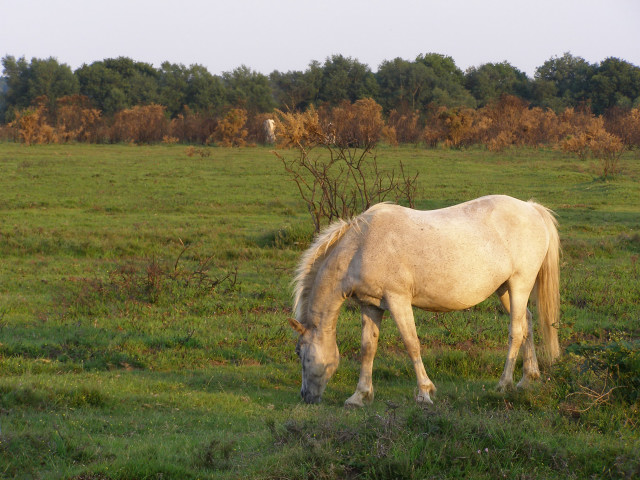Ponies grazing south of Ipley Manor, New Forest
