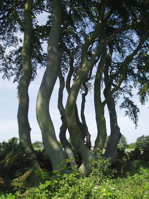 Trees at Tyninghame