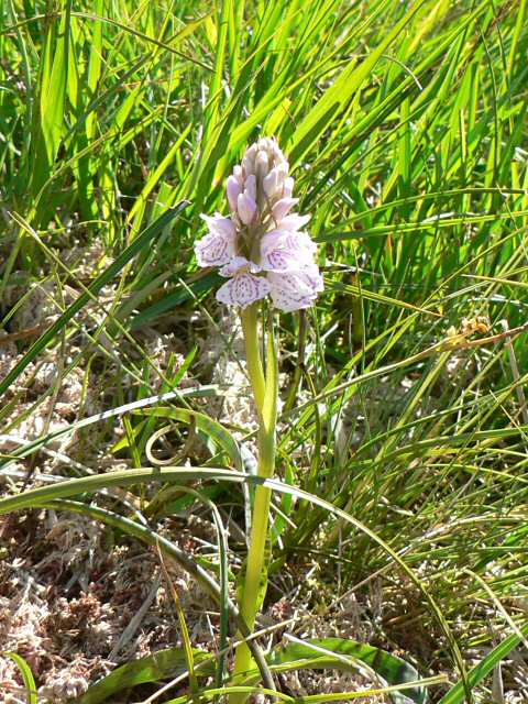 Moorland spotted orchid, near Loch Garry