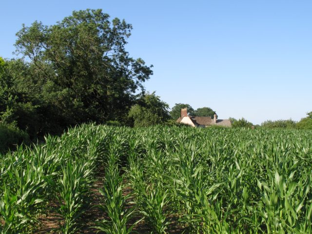 Crops at Peckingell