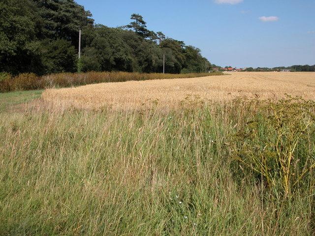 Field of wheat near Thornham