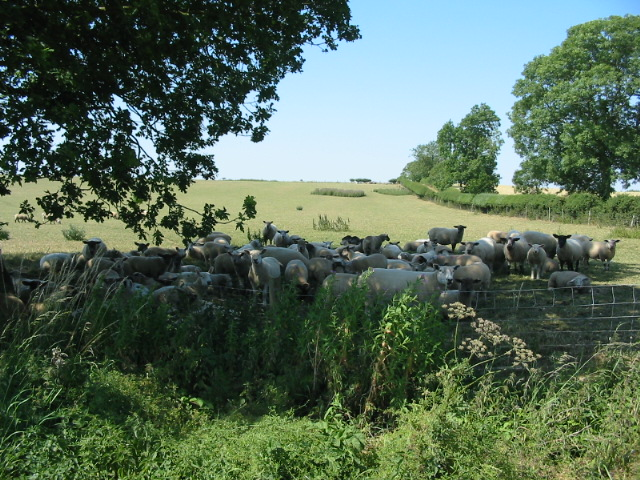 A flock of sheep take shelter from the midday sun in the July heatwave