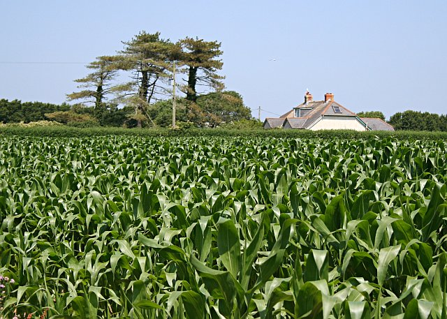 Maize and an Isolated House