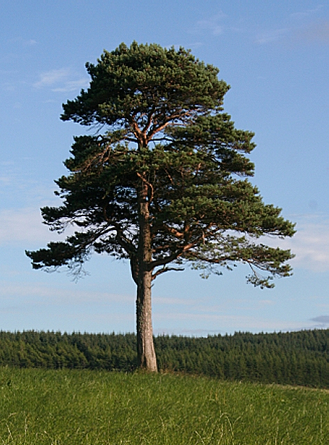 Lone Scots Pine (Pinus sylvestris)
