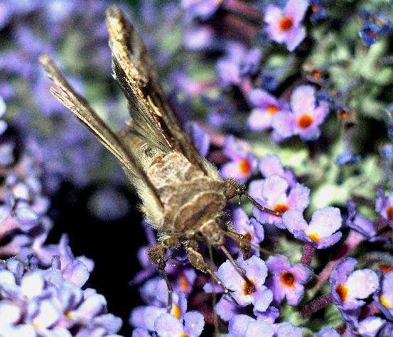 Silver Y moth (Autographa gamma) on buddleia