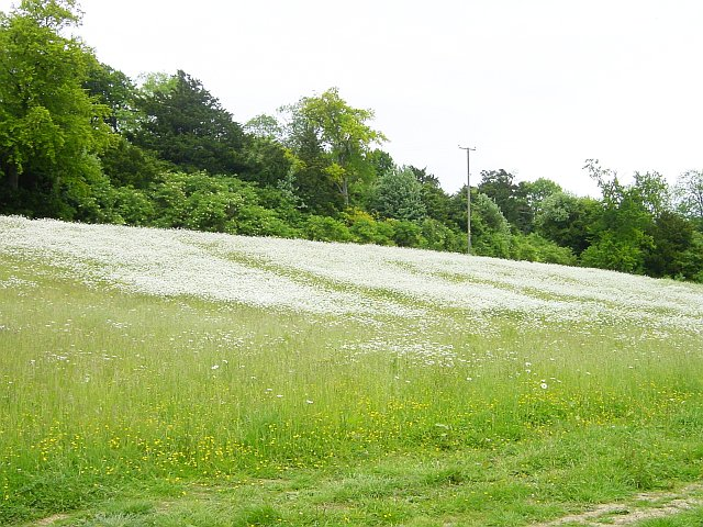 Ox-eye daisies, Hucking Estate