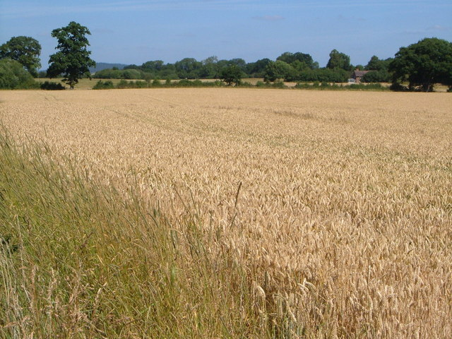 Wheatfield at Benthall
