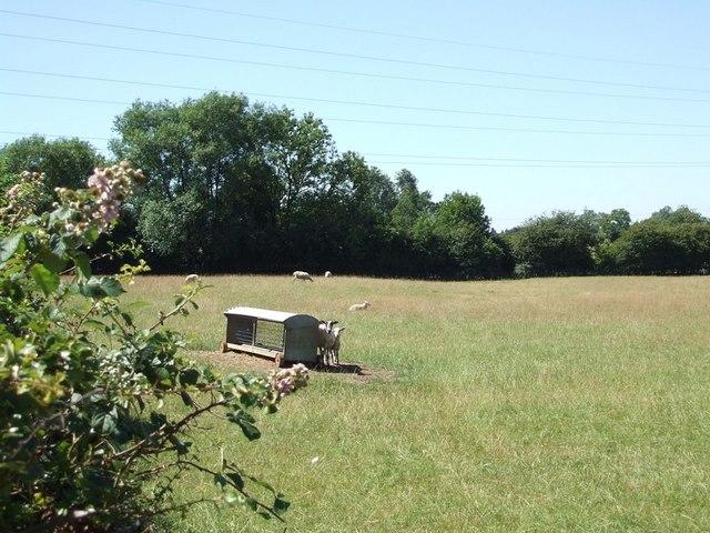 Sunny shorn sheep