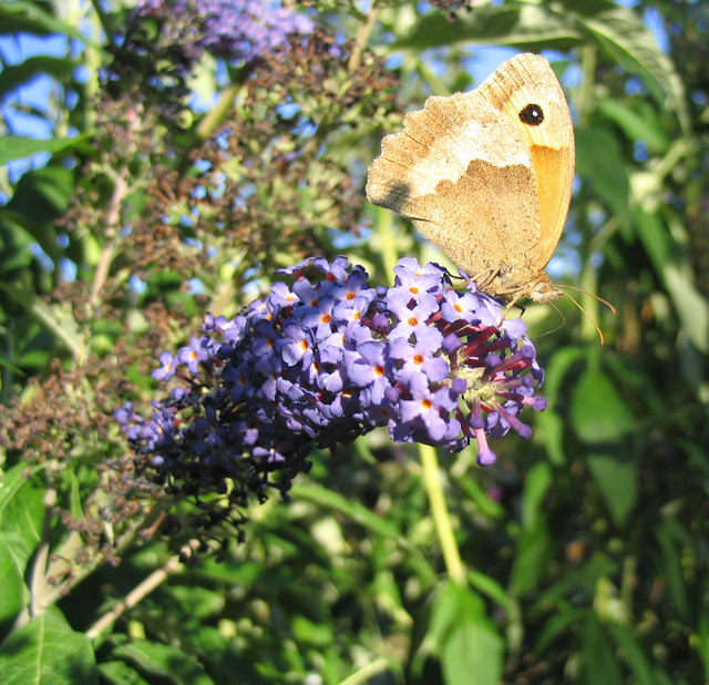 Butterfly and Buddleia (2)