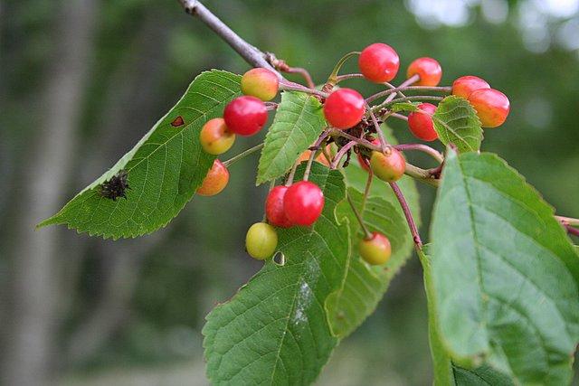 Wild cherry in July.