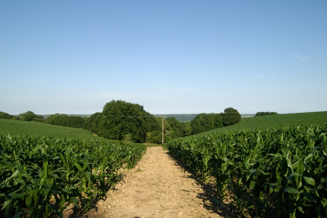 East Devon Way through the maize, near White Cross, Ottery St Mary