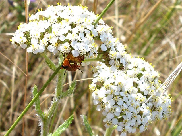 Yarrow flowers (Achillea millefolium)