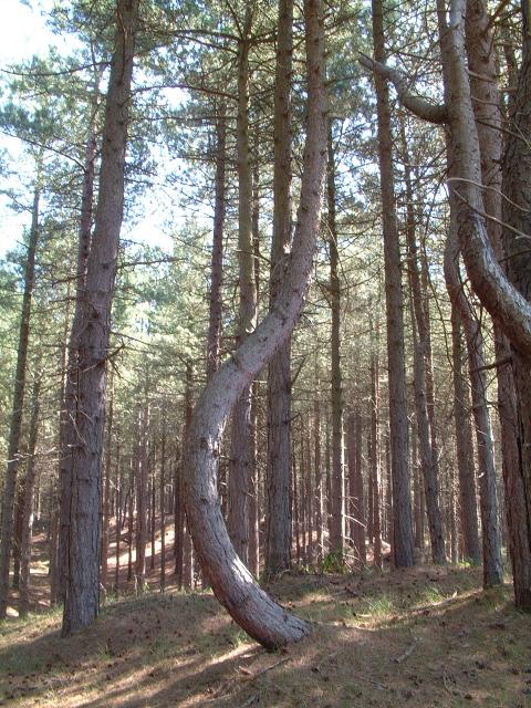 Unusual Pine Tree