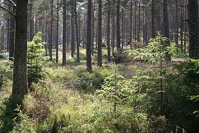 Spruce Saplings