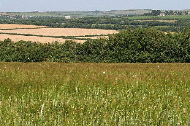 Velvet Barley