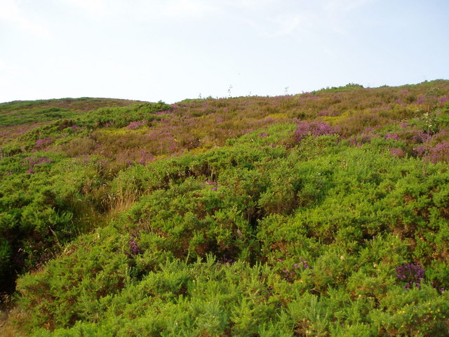 Gorse, heather and winberries.