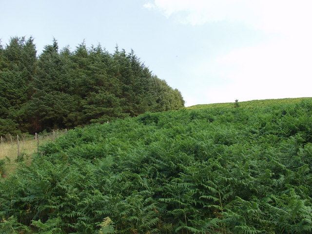 Coniferous forests and bracken