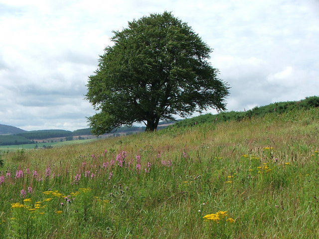 Tree beneath Black Cairn