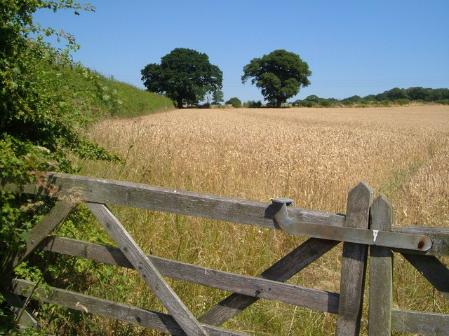 Wheatfield beside Port Lane, Gunstone