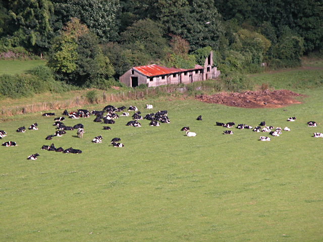 Chepstow - Cows in Meadow at Castleford