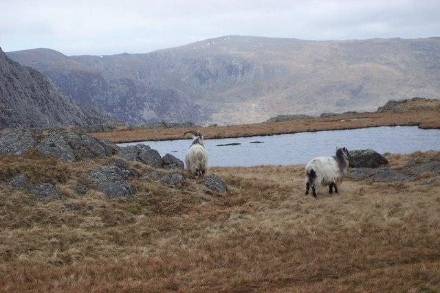 Goats at Llyn Caseg-Fraith