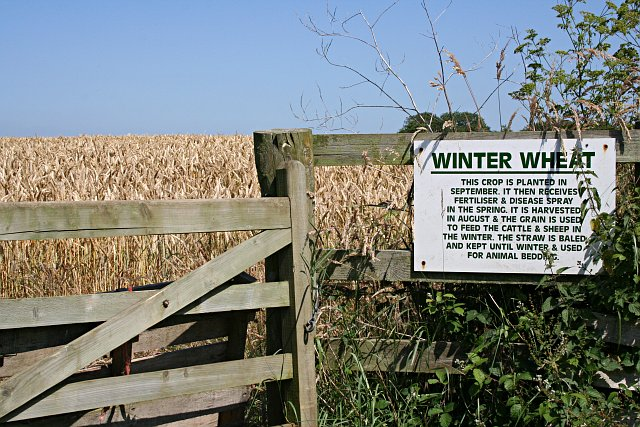 Winter Wheat with an Explanation