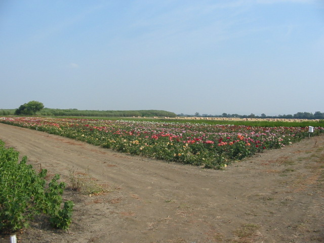 One of the growing fields for Rogers Roses