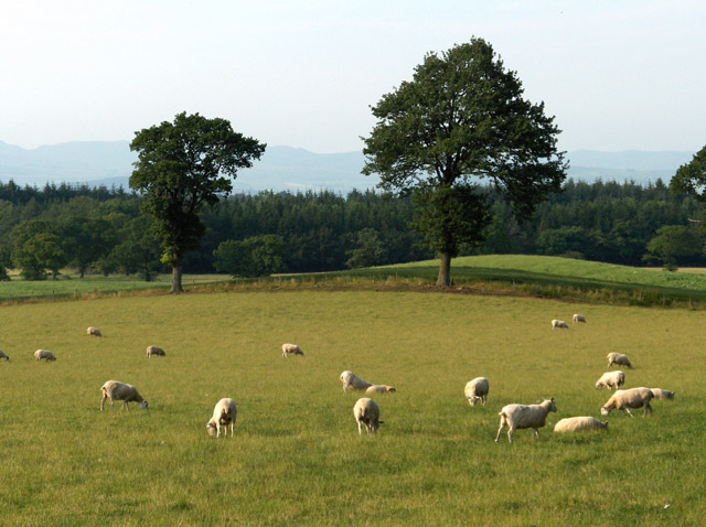 Sheep, between Braco and Muthill