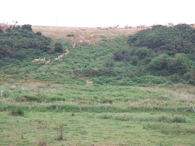 Guanaco in Pembrokeshire