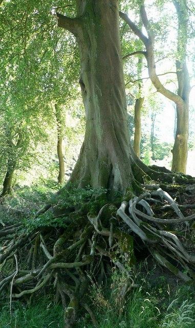 Exposed tree roots, River Wharfe, Barden Bridge