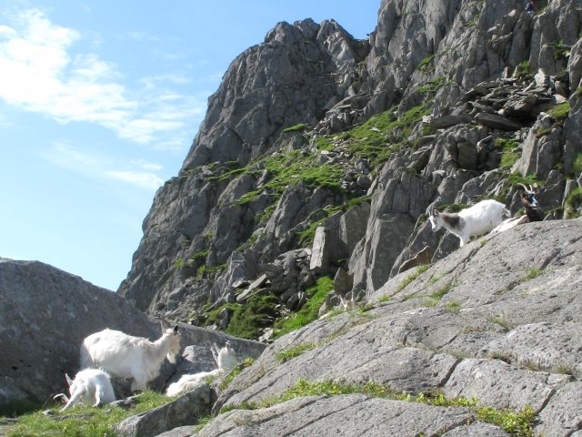 Mountain goats on the North Ridge of Tryfan