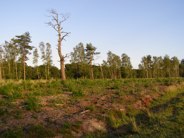 Regrowth in a cleared area in the Ipley Inclosure, New Forest