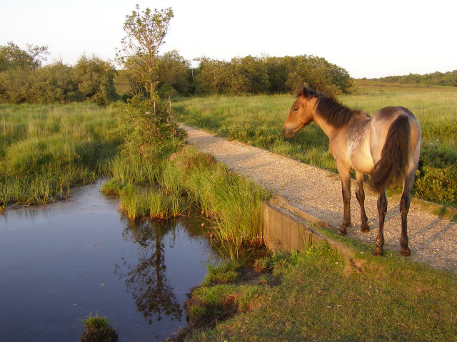 Pony on the causeway, Penny Moor, New Forest