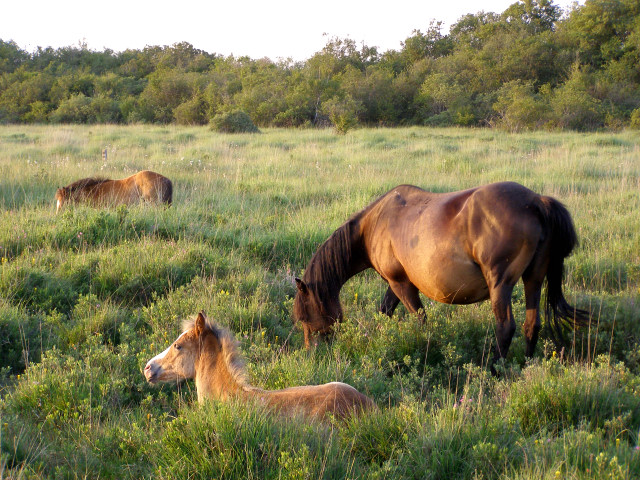 Grazing ponies in the Bishop of Winchester's Purlieu, New Forest